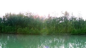 Βλαστοί και ρίζα του μήλου Sonneratia μαγγροβίων alba ή δέντρο φελλού στο δάσος μαγγροβίων στο διαποτισμένο βιότοπο με το φως του απόθεμα βίντεο
