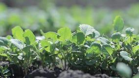 Βλαστοί του ραδικιού Φυτικό αγρόκτημα απόθεμα βίντεο