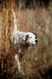 βοηθά το κυνήγι σκυλιών π&omi Στοκ Φωτογραφία