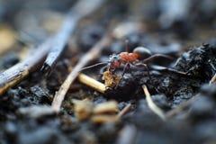Βοηθώντας μυρμήγκι Στοκ Εικόνα