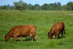 βοημένο αγελάδες λιβάδι Στοκ Εικόνα
