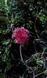 Βολβός άγριων κρεμμυδιών στοκ φωτογραφίες με δικαίωμα ελεύθερης χρήσης