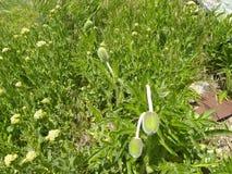 Βολβός παπαρουνών στενός με την πράσινη κάλυψη στοκ φωτογραφία με δικαίωμα ελεύθερης χρήσης
