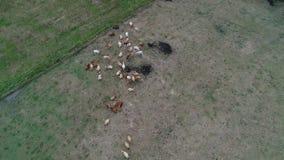 Βοοειδής πάσχτε από την ξηρότητα στους τομείς απόθεμα βίντεο