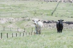 Βοοειδή ανοικτό Rangeland στο αγροτικό Κολοράντο Στοκ εικόνες με δικαίωμα ελεύθερης χρήσης