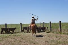 Βοοειδή βοσκής κάουμποϋ οδήγησης πλατών αλόγου με το λάσο στοκ φωτογραφία