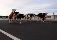 Βοοειδή  βόδι  ένα επώνυμο  moggy  μουγκρητό-αγελάδα στοκ φωτογραφίες