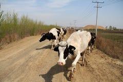 Βοοειδή  βόδι  ένα επώνυμο  moggy  μουγκρητό-αγελάδα στοκ εικόνες
