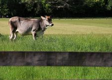 Βοοειδή  βόδι  ένα επώνυμο  moggy  μουγκρητό-αγελάδα στοκ φωτογραφία με δικαίωμα ελεύθερης χρήσης