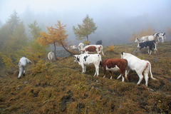 βοοειδή διασταύρωσης Στοκ Φωτογραφία