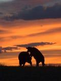 βοοειδή επιθετικότητα&sigma Στοκ Εικόνα