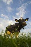βοοειδή ολλανδικά Στοκ εικόνες με δικαίωμα ελεύθερης χρήσης