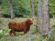 Βοοειδή ορεινών περιοχών που περπατούν στη φύση στοκ εικόνα με δικαίωμα ελεύθερης χρήσης