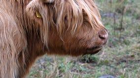 Βοοειδή ορεινών περιοχών - BO Ghaidhealach - γουργούρισμα Heilan - μια σκωτσέζικη φυλή βοοειδών με τα χαρακτηριστικά μακριά κέρατ απόθεμα βίντεο