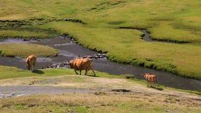 Βοοειδή που περπατούν από τον ποταμό απόθεμα βίντεο