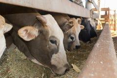 Βοοειδή που τρώνε στον περιορισμό στο αγρόκτημα Στοκ Εικόνες