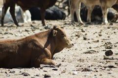 βοοειδή πρωταρχικά Στοκ εικόνες με δικαίωμα ελεύθερης χρήσης