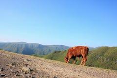 Βοοειδή στα βουνά στοκ εικόνες