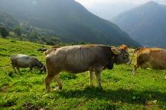 Βοοειδή στα λιβάδια βουνών Στοκ εικόνες με δικαίωμα ελεύθερης χρήσης