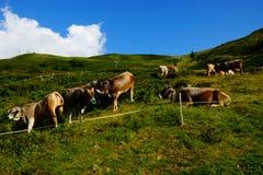 Βοοειδή στα λιβάδια βουνών Στοκ Εικόνες