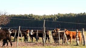 Βοοειδή στην αργεντινή επαρχία απόθεμα βίντεο