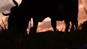 Βοοειδή στο λιβάδι που βόσκει τη χλόη Υπόβαθρο καλλιέργειας r Μικρή επιχείρηση, σίτιση βοοειδών απόθεμα βίντεο