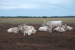 βοοειδή τα γκρίζα ουγγρικά Στοκ Φωτογραφία