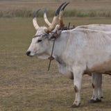 βοοειδή τα γκρίζα ουγγρικά Στοκ φωτογραφία με δικαίωμα ελεύθερης χρήσης