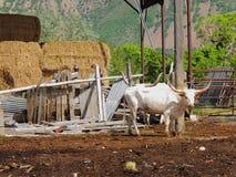 Βοοειδή του Τέξας Longhorn στην αγροτική μάντρα αγροτικών σπιτιών στοκ φωτογραφία