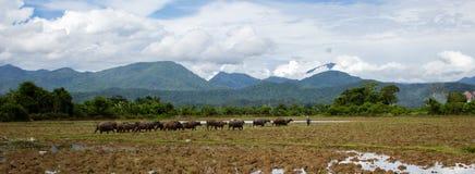 Βοοειδή των βούβαλων νερού περπατούν στο έμβλημα τομέων ρυζιού στοκ φωτογραφία με δικαίωμα ελεύθερης χρήσης