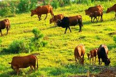 βοοειδή στοκ εικόνες
