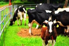 βοοειδή στοκ φωτογραφίες με δικαίωμα ελεύθερης χρήσης