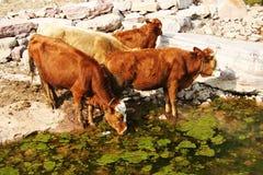 βοοειδή στοκ εικόνες με δικαίωμα ελεύθερης χρήσης