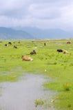 βοοειδή Στοκ εικόνα με δικαίωμα ελεύθερης χρήσης