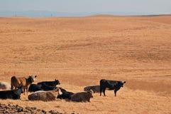βοοειδή Στοκ Φωτογραφίες