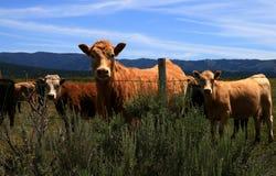 βοοειδή 8 Στοκ Εικόνες