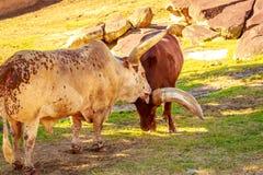 Βοοειδή Ankole κεφάλι-επάνω Στοκ Εικόνες