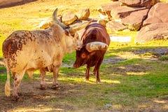 Βοοειδή Ankole κεφάλι-επάνω Στοκ Φωτογραφίες