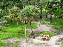 Βοοειδή Ankole στοκ φωτογραφία με δικαίωμα ελεύθερης χρήσης