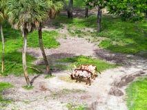 Βοοειδή Ankole στοκ φωτογραφίες με δικαίωμα ελεύθερης χρήσης