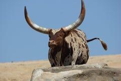 Βοοειδή ankole-Watusi Στοκ φωτογραφία με δικαίωμα ελεύθερης χρήσης