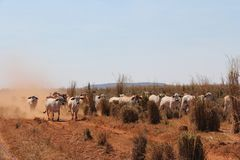 Βοοειδή Brahman στοκ φωτογραφία με δικαίωμα ελεύθερης χρήσης