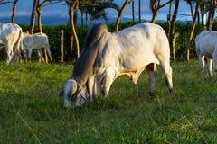Βοοειδή Brahman - Bos Indicus στοκ φωτογραφίες με δικαίωμα ελεύθερης χρήσης