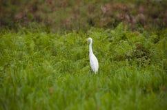 Βοοειδή egrett Στοκ Εικόνες
