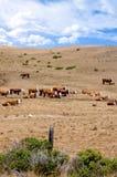 βοοειδή herford Στοκ φωτογραφία με δικαίωμα ελεύθερης χρήσης