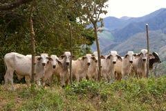 βοοειδή lineup Στοκ Εικόνα