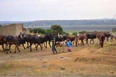 Βοοειδή Watusi Ankole σε Katwe, Ουγκάντα, Αφρική Στοκ Φωτογραφίες