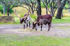 Βοοειδή Watusi Ankole Στοκ εικόνα με δικαίωμα ελεύθερης χρήσης