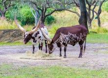 Βοοειδή Watusi Ankole Στοκ Εικόνες