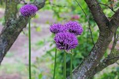 βοοειδών Allium Ιώδες τόξο Κήπος στοκ φωτογραφία